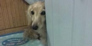 保護犬カフェ印西店 Mダックスのシャロンを家族に迎え入れた話(第一話)