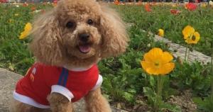 トリミングサロンでプードル犬のティファニーが死亡。飼い主が伝えたいこと(兵庫県宝塚市)